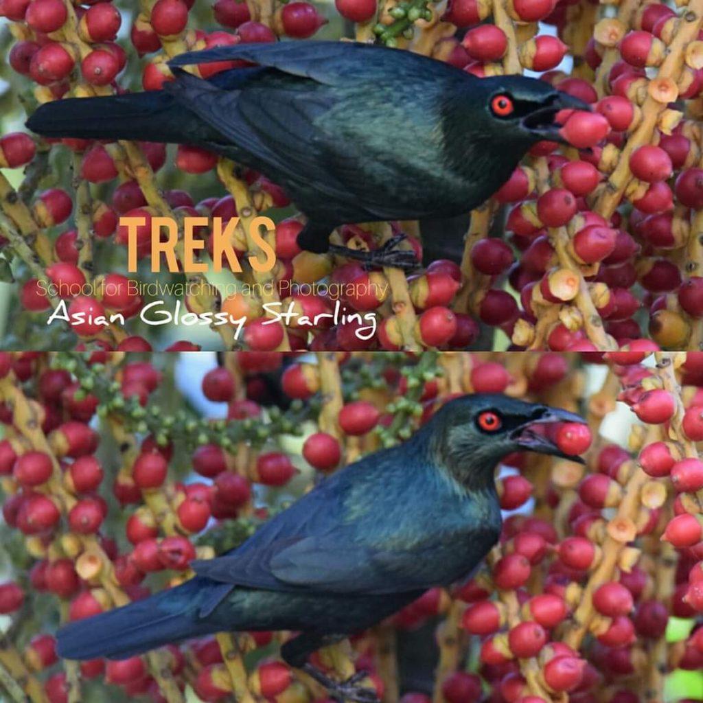Asian Glossy Starling, GH