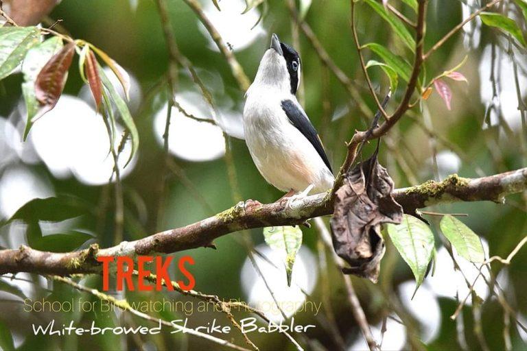 White-browed Shrike Babbler, FH
