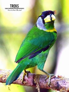 Fire-tufted Barbet, GH & FH
