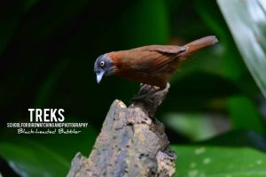 Black-headed Babbler, Lancang