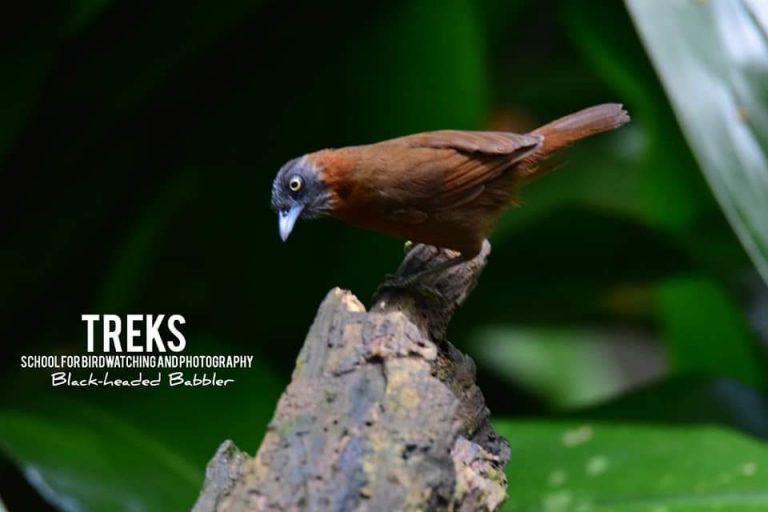 Black-headed Babbler, Lancang