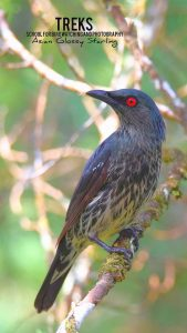 Asian Glossy Starling, GH